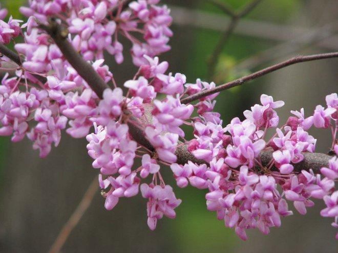 mùa xuân redbuds