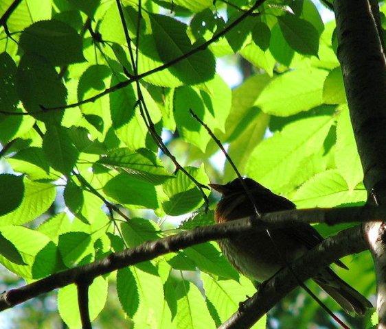 chim trong đám lá