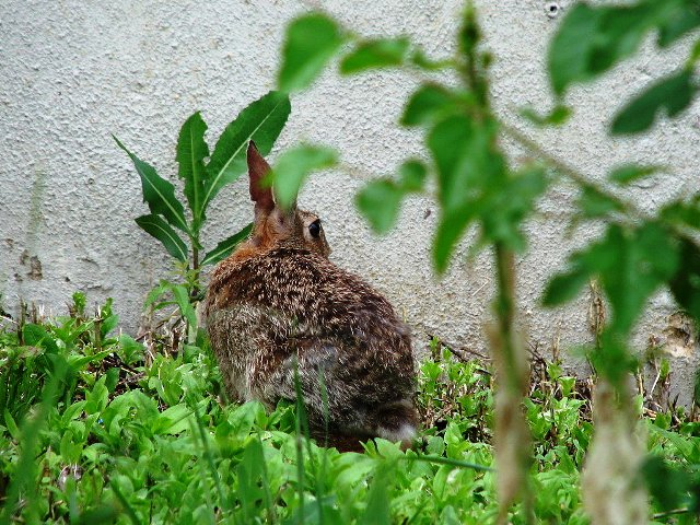 con thỏ nâu