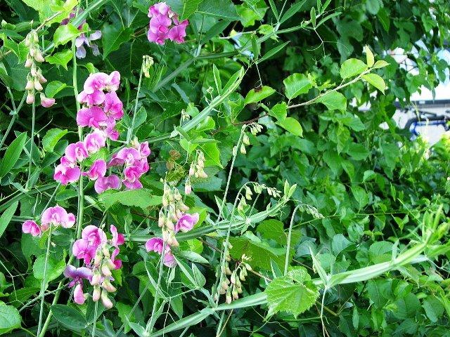 hoa đậu tím