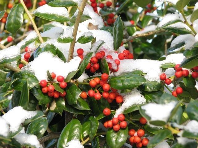 trái dại bị phủ tuyết