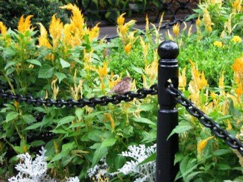 Hoa mào gà và chú chim bé bỏng ngồi trên sợi dây xích