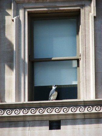 chim cú ở cửa sổ