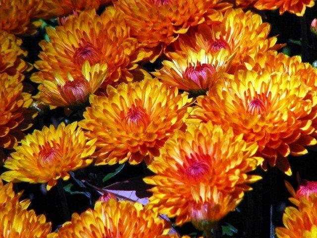 hoa cúc 2