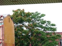Nhìn cây này để nghĩ đến cây phượng và phượng đẹp hơn nhiều
