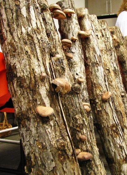 Cây trồng nấm shiitakes