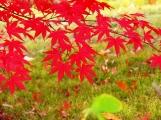 lá phong trong bóng râm