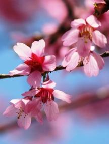 hoa đào đầu mùa