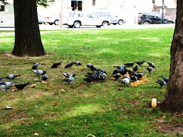 bồ câu ăn trong công viên