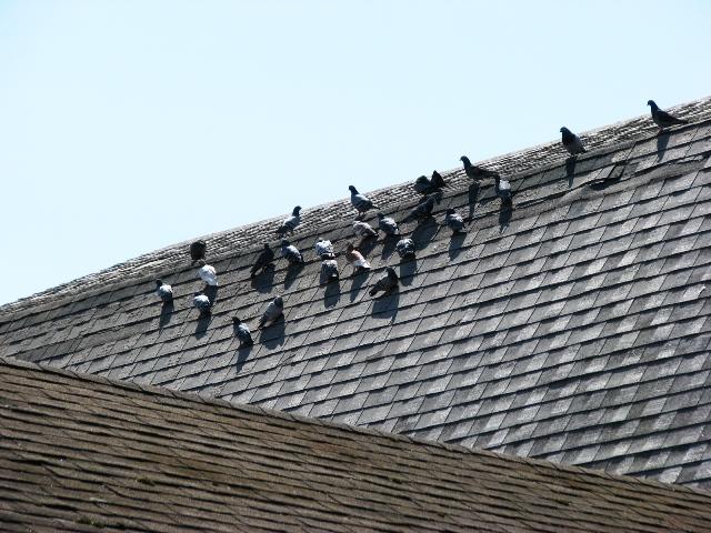 Bồ câu trên mái nhà