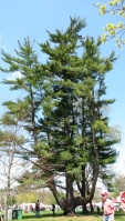 cây thông to