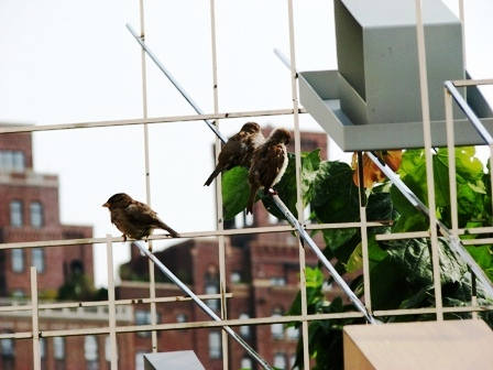 Chim sẻ ở highline