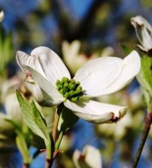 Dogwood trắng 2