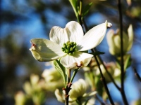 Dogwood trắng