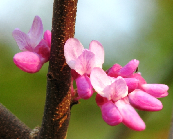 Eastern Redbud upclose