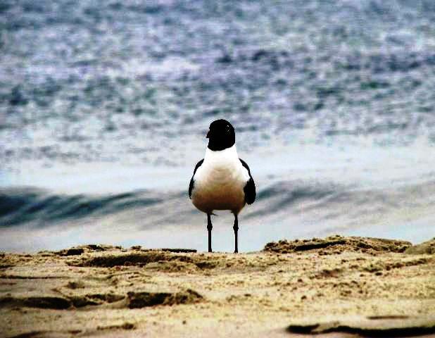 hải âu đầu đen