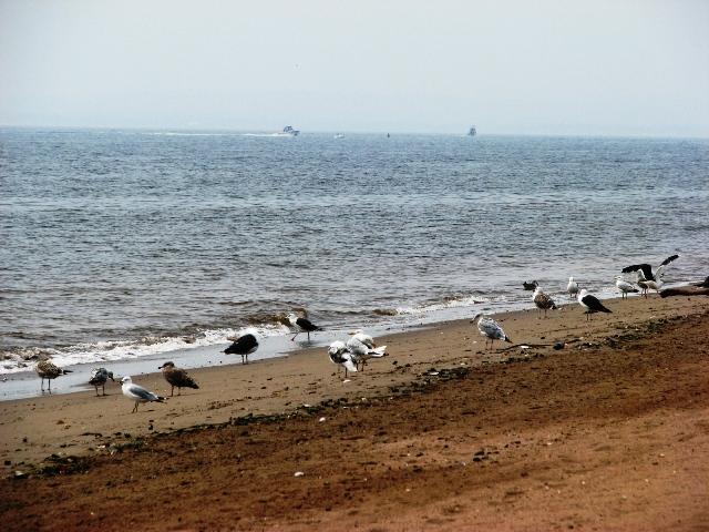 hải âu ở long island beach