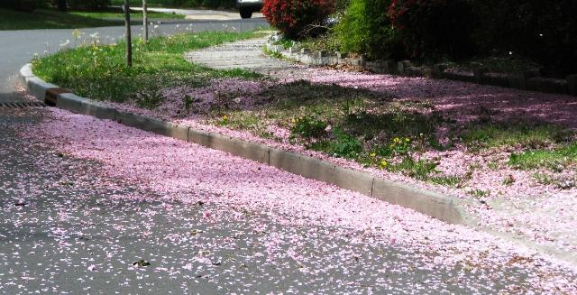 Hoa đào trải lối