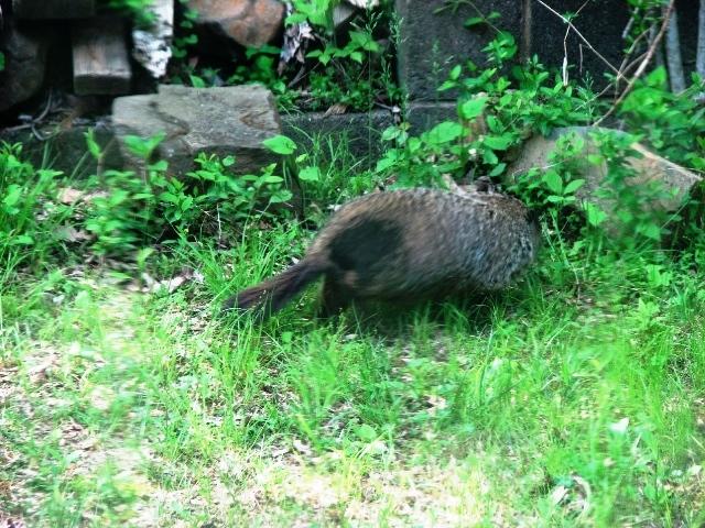 groundhog có bớt đen