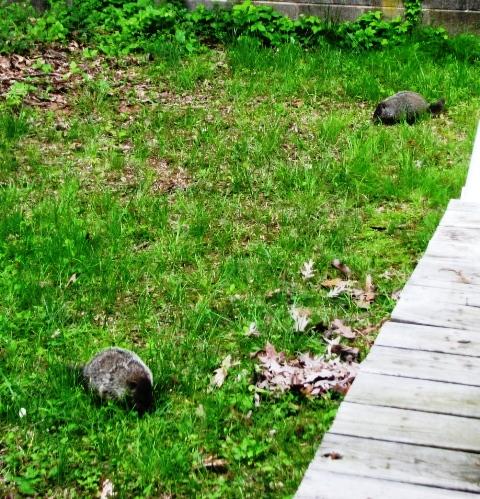 hai groundhog