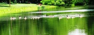 đàn vịt trên hồ