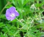geranium johnson blue (2)
