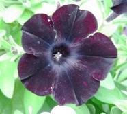 hoa đen 2