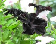 Hoa đen