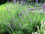 lavender oải hương