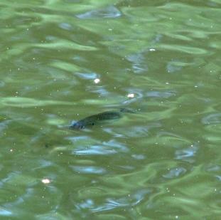 một con cá