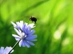 Ong đậu trên hoa chicory