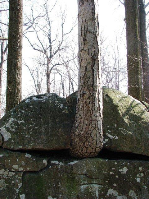 sồi và đá