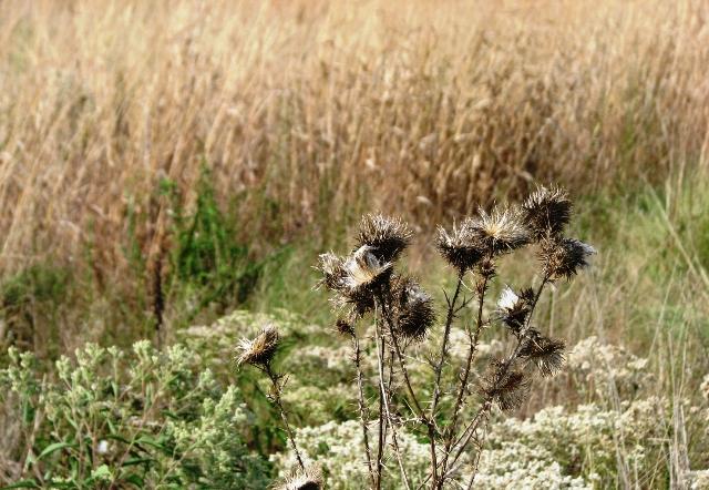 cỏ gai khô