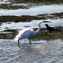 egret và quạ