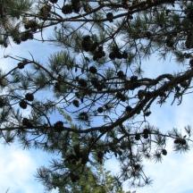 Thông pitch pine
