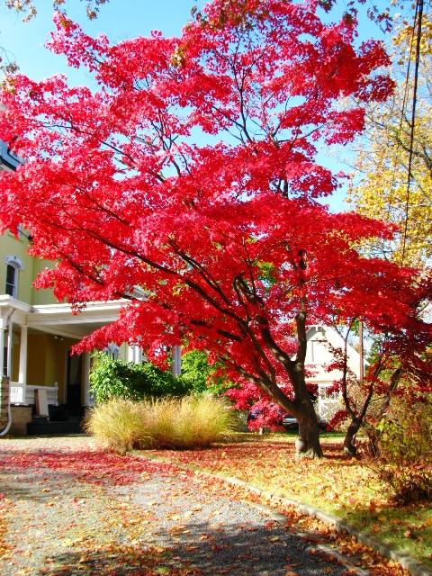 cây phong trước nhà cạnh thư viện