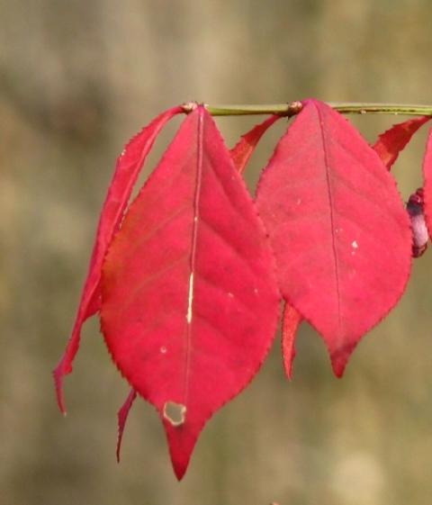 cụm lá đỏ