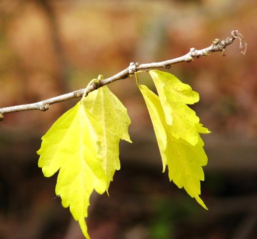 Lá của cây phù dung