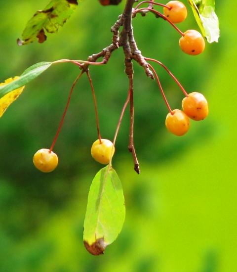 trái chín hoang