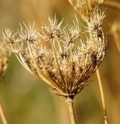 cúp cỏ khô