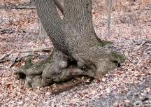 gốc cây xấu xí