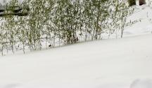 Trúc trong tuyết