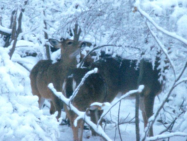 đàn nai trong tuyết