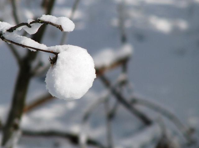 trái tuyết