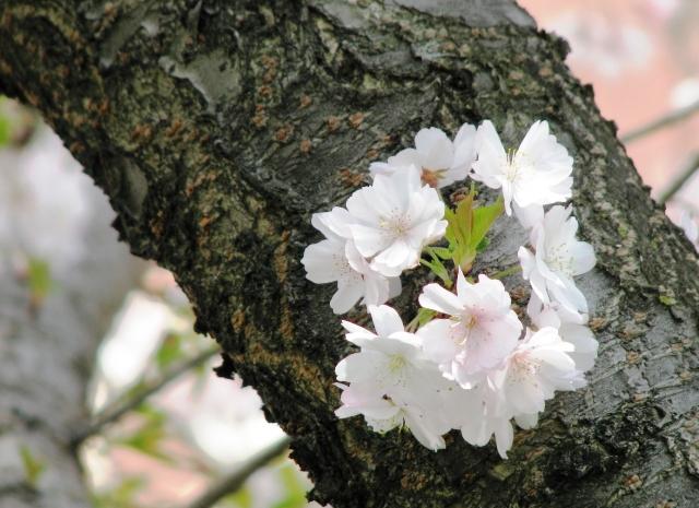 cụm hoa đào