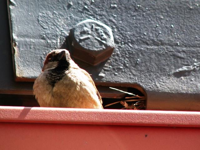 chim sẻ