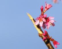 hoa đào chúm chiếm phong nhụy