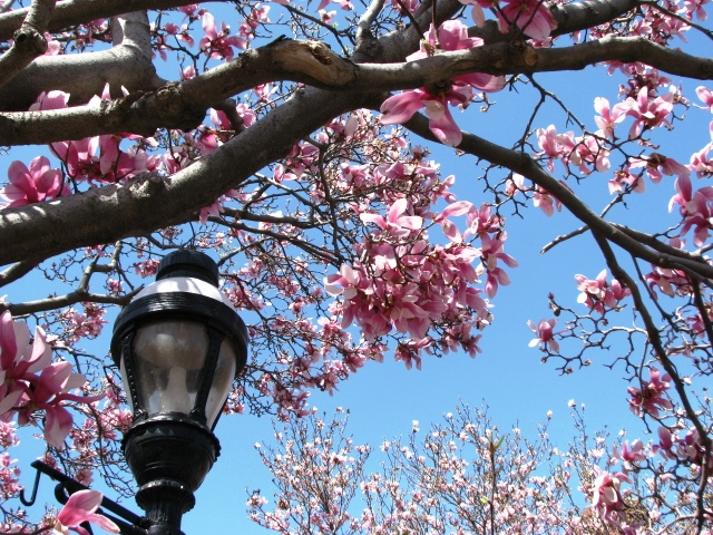 dưới rặng magnolia