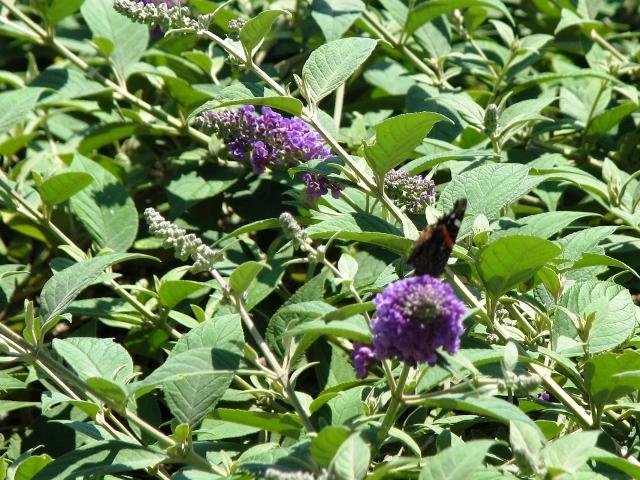 Con bướm trên bụi hoa hồ điệp