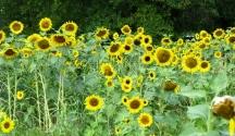 vườn hoa quỳ